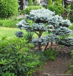 Сад Игоря Успенского. Picea pungens Glauca Globosa (Личные)
