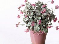 The delicate pink flowers and pale gray leaves of the Kalanchoe pumila suit a pastel-colored glazed container that won't overpower them.