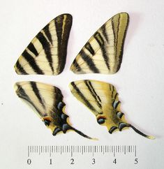 BOLD Systems: Taxonomy Browser - Iphiclides feisthamelii {species}
