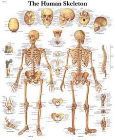 names+of+bones |  below to study the division of the bones in, Skeleton