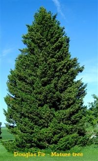 Green Douglas Fir Pseudotsuga Menziesii Viridis Tree 20 Seeds * Check out this great product. Best Trees For Privacy, Noble Fir Tree, Trees For Front Yard, Privacy Landscaping, Specimen Trees, Foundation Planting, Tree Seeds, Evergreen Trees