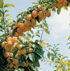 Peach in Chitral Pakistan
