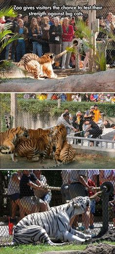 That's actually kind of sad for the tigers.