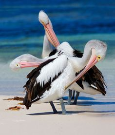 Pelicans#Repin By:Pinterest++ for iPad#