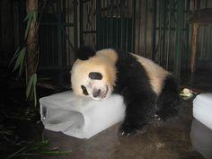Pandas don't like it hot: Temps, not food biggest concern - https://scienceblog.com/484470/pandas-dont-like-hot-temps-not-food-biggest-concern/