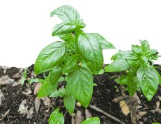 Here's our pesto recipe--inexpensive, easy, healthy, and a great way to use up all that basil we planted to ward off pests.