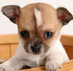 These innocent looking cute Chihuahua puppies are surely going to melt your heart. Share these cute Chihuahua puppy pictures with your friends Chihuahua Love, Chihuahua Puppies, Cute Puppies, Cute Dogs, Dogs And Puppies, Chihuahuas, Brown Chihuahua, Teacup Chihuahua, Pets