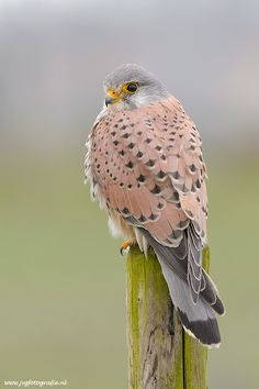 Kestrel/ Torenvalk...not an owl, but it is another raptor, and I can't resist the colours.