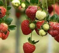 Τα πάντα για την φράουλα και την καλλιέργεια της... ~ Επιστροφή στη φύση