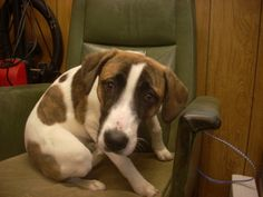 GORGEOUS YOUNG BEAGLE/BOXER PUP  (RAIN) NEEDS A LOVING HOME ASAP!!! CARROLLTON/AKRON, OHIO...Available for a limited time from the Carroll County Dog Pound, 2185 Kensington Rd. NE, Route 9, Carrollton, Ohio 44615, 330-627-4244.Located southeast of the Akron/Canton area. The pound is open Monday-Friday, 7-4, except holidays. The adoption fee...