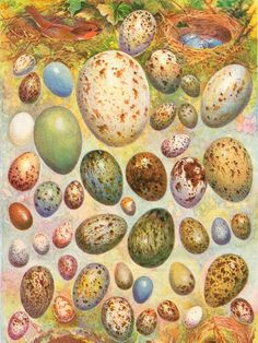 Victorian lithograph of birds' eggs