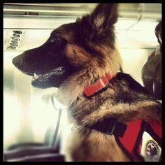 Long hair German Shepherd flying 1st class