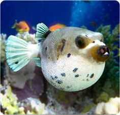"Pufferfish - My puffer looked like a puppy.  Would wrap his tail around himself and ""sit"" - very cute fish - Annilee"
