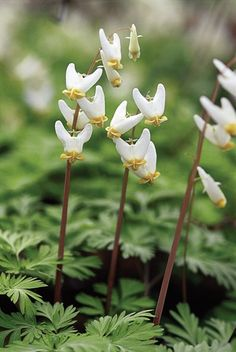 9 spring wildflowers to grow in your garden (photo: Dicentra ucullaria) | source Garden Design