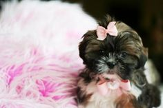 Teacup Shih Tzu Puppy ?.what color to get???