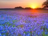 Texas Bluebonnets, Texas Hill Country, Texas
