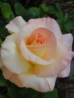 Princess Diana Rose