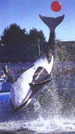 """Una nueva especie de orcas  Hasta hace muy poco tiempo los científicos creían que existía una sola especie de orca (Orcinus Orca). Hoy se acepta, definitivamente, la existencia de una nueva especie conocida como """"Acuarius Orca"""" cuyo nombre vulgar sería """"orca de acuario""""."""