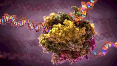 RNA Polymerase Transcription: Scientific Illustration GIF - Medical & Scientific Video Animation & Illustration by John Liebler Cell Biology, Molecular Biology, Life Science, Science And Nature, Science Gif, Dna Play, Base Nitrogenada, Protein Folding, Nature