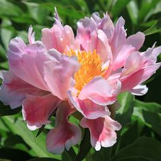 ~Herbaceous Peony - Avalon
