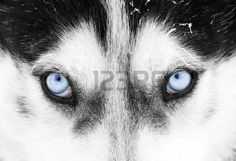 Find Blue Eyes Siberian Husky stock images in HD and millions of other royalty-free stock photos, illustrations and vectors in the Shutterstock collection. Thousands of new, high-quality pictures added every day. Heterochromia Eyes, Dog Stock Photo, American Cocker Spaniel, Alaskan Malamute, Samoyed, Eye Color, Blue Eyes, Husky, Photo Editing