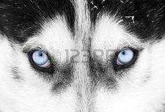 hnědé oči: Zblízka na modré oči psů husky