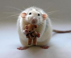 A rat and his teddy bear