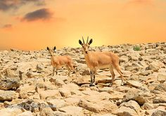 IbexMother and Young Ibex on Rocky Mountains by NikaLerman on Etsy, $25.00
