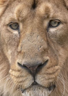 An Asiatic Male Lion by James Boardman-Woodend