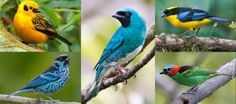 Maybe birds can have it all: Dazzling colors and pretty songs -- ScienceDaily