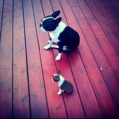 Benji & Toby!! #BostonTerrier