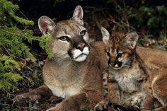 Descripción: El Puma concolor es un grande, delgada, gato sin mancha. Tienen extremidades musculosas y una larga cola. Hay sizr puede variar entre los subspecices. Los gatitos son negro manchado hasta 3 a 4 meses de edad. En los jóvenes gatitos la ey e color es azul, pero a medida que envejecen a un color gris, marrón o dorado.