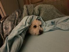 Peanut Pictures, Mini Poodles, Poodle Mix, Life Photo, Dog Life, Bean Bag Chair, Home Decor, Decoration Home, Room Decor