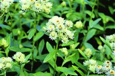 Everlasting - butterfly host plant