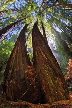 Trees that are at least 1200 years old with heights up to 379 feet - Muir Woods, San Francisco.