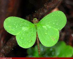 Pretty leaf dragonfly. Looks like a clover leaf!