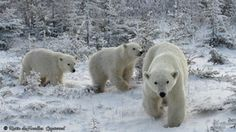 Polar Bear and Cubs, Churchill Manitoba Canada, Canada