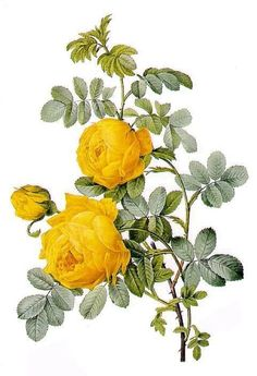 Rosa Sulfurea (Yellow Rose) from 'Les Roses' by Claude Antoine Thory engraved by Eustache Hyacinthe Langlois 1817 (coloured engraving) Wall Art Prints by Pierre Joseph Redoute Vintage Botanical, Art Prints, Botanical Art, Illustration, Botanical Illustration, Botanical Prints, Painting, Painting Prints, Painting Frames