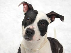 TO BE DESTROYED SAT 12/28/13 Manhattan Center-P JENNIFER A0983683 female blck & wht pit mix 1 YR 5 MTHS STRAY 10/30/13 VERY SWEET, Occasionally grabs the leash to play but responds immediately to 'leave it',likes to hang out w/ people, share affectionate. Likely housetrained, Easy going girl is looking for a person or family who loves giving hugs, going for nice walks and is ready to have a forever companion in their lives.