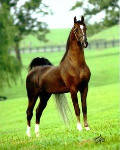 Undulata's Nutcracker, Saddlebred stallion