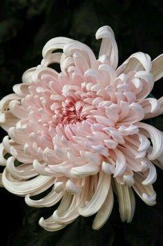 In Bloom: Japanese Chrysanthemum