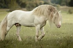 Emmy Eriksson. Gypsy stallion