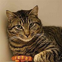 Troutdale Oregon Domestic Shorthair Meet Hitch A For Adoption Https Www Adoptapet Com Pet 24691596 Troutdale Oregon Cat Pets Pet Adoption Adoption