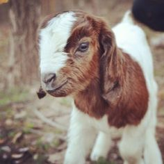 Splendid Things: Call the kidwife! Baby boer goat