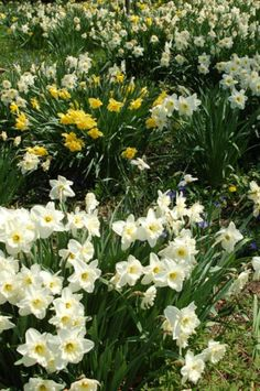 April in New England: Celebrate Daffodil Days in April at Blithewold, a historic waterfront mansion in Rhode Island.