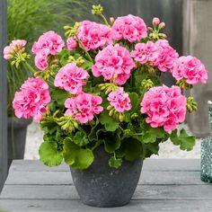Garden Plants, Plants, Diy Garden, Geraniums, Geranium Plant, Pink Garden, Flower Pots, Pink Flowers, Flowers