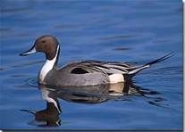 Breeder pair of Northern Pintail: They are pinioned and in good condition.