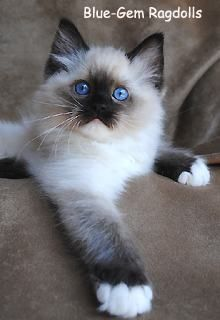 gorgeous seal mitted ragdoll kitten