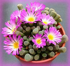 Frithia pulchra • Baby Toes • Succulent • Endemic to South Africa. Magaliesberg from Hartbeeshoek to the Rustenburg, hardy to 25 degrees, full blazing sun to part shade, bright pink magenta flowers bloom in Spring, prefers gravel and loose soil, summer grower, water thoroughly then allow to dry perfectly, light, sporadic water during winter