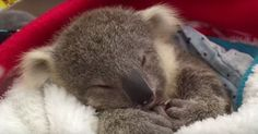 When it comes to cuteness, everything pales in comparison to Imogen the koala's home video.